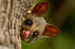 New Zealand Possum