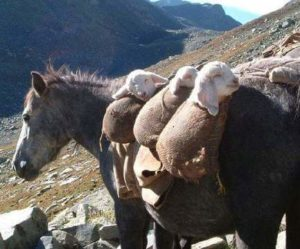 3 sheeps being carried on a horse