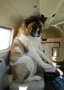 Scared Big dog on a seat in plane